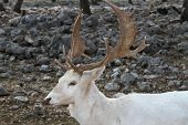 foto of veld  - A fallow deer grazes in an orchard - JPG