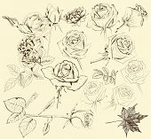 Collection Of Hand Drawn Roses For Design