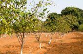 Sugar Apple trees
