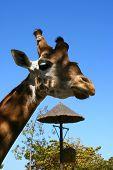Giraffe In Zoo, Tabernas, Almeria