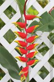 False Bird of Paradise on a White Fence.