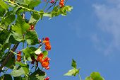 pic of phaseolus  - kidney beans blooming  - JPG