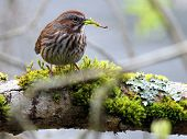 Song Sparrow no ramo musgoso