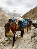 Pack Horses In The Karakorum Mountains, Pakistan