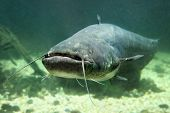 Underwater photo of The Catfish (Silurus Glanis). Close up with shallow DOF.