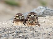 Three Juvenile Burrowing Owls