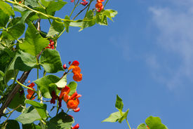 image of phaseolus  - kidney beans blooming  - JPG