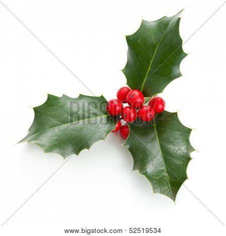 European Holly (Ilex aquifolium) leaves and fruit poster