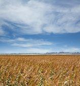 Field Of Barley In Suffolk