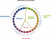 stock photo of ovulation  - Menstrual cycle wheel - JPG