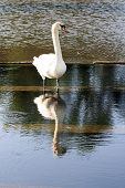 Swan and its reflection in the water (France Europe)