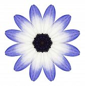 Blue Osteospermum Daisy Flower Kaleidoscope Isolated On White