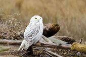 Snowy Owl, with Fall color