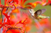 Rufous Hummingbird feeding on Crocosmia Flowers
