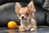stock photo of chiwawa  - Chihuahua puppy with native Indian necklace and lemon on black leather background - JPG