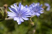 Chicory Flowers in a row