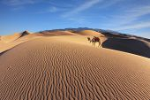 image of dromedaries  - Gorgeous dromedary on sand dunes - JPG