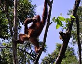 foto of stinky  - Wild orangutan eating stinky fruit durian at National Park - JPG