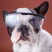 French bulldog wearing safety glasses