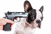 Gun pointed at sad french bulldog head over white background