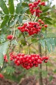 Transitory Beauty Of Rowan Berries In Autumn