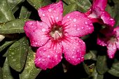 stock photo of angiosperms  - Desert Rose - JPG