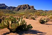 pic of prickly pears  - Arizona desert view with prickly pear cacti - JPG