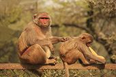 Rhesus Macaque Grooming Young Macaque, New Delhi