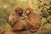Rhesus Macaques Grooming Each Other, New Delhi