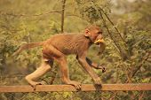 Young Rhesus Macaque Walking On A Fence, New Delhi