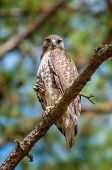 picture of small-hawk  - coopers hawk perched on tree watching for small prey - JPG