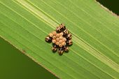 picture of larva  - stinkbug larvae and eggs on green leaf in the wild natural state - JPG