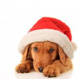 stock photo of sad christmas  - Christmas puppy wearing a Santa hat - JPG