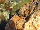 stock photo of crustations  - Little black sea crab got out on a stone and basks in the sun - JPG