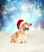Постер, плакат: Dachshund Dog With Santa Hat