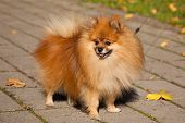 stock photo of pomeranian  - Pomeranian  - JPG