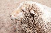 woolly sheep in zoo