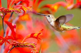 pic of hummingbirds  - Rufous Hummingbird in flight - JPG