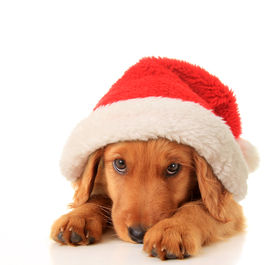 stock photo of puppy christmas  - Christmas puppy wearing a Santa hat - JPG