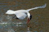 An Inexperienced Caspian Tern With Its Head Forced Back Learning To Drink While Flying