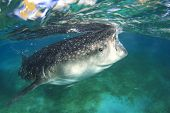 stock photo of plankton  - Whale Shark feeds on plankton at surface - JPG