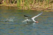 Caspian Tern Getting A Drink In Flight