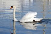 image of trumpeter swan  - One mute swan with open wings floating quietly on blue water - JPG