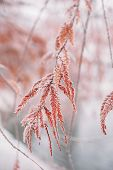 Snow-covered Frozen Japanese Branches