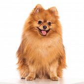 Adorable, furry spitz on a white background