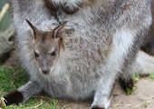 pic of wallabies  - A Wallaby joey which is in a pouch - JPG