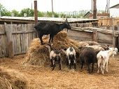 picture of billy goat  - There are rural farm fence and sheep - JPG