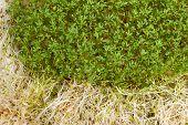 stock photo of alfalfa  - Fresh alfalfa sprouts and cress on white background - JPG