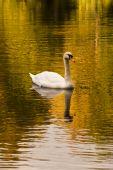 Swan auf See, herbstliche Nachmittag