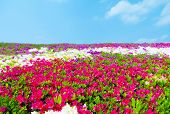 Carpet of Azalea flowers. Pink, purple, and white under a blue sky.